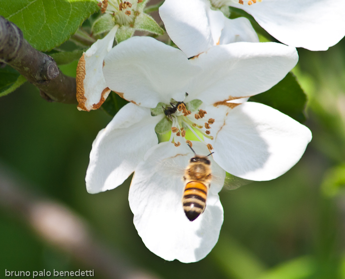 honeybee pollination on apple blossom