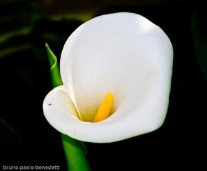 calla lily zantedeschia aethiopica close up on dark background