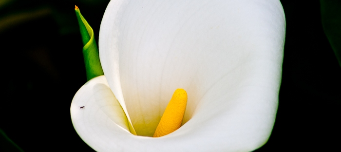 calla lily zantedeschia aethiopica close up on dark background