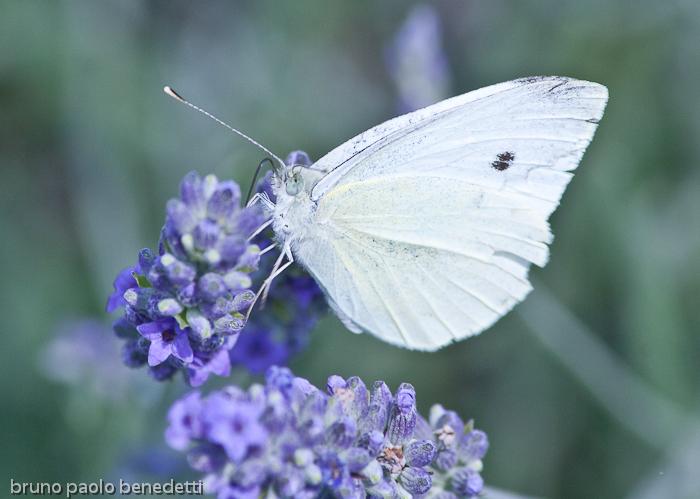 littlewhitebutterflies