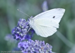 small white butterfly or small cabbage white