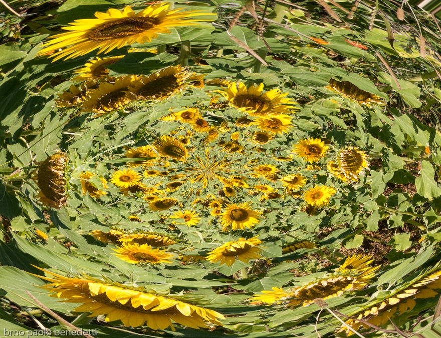 surrealism image sunflowers rising from fluid shape in vortex